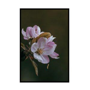 Steffi-Kirschblüte